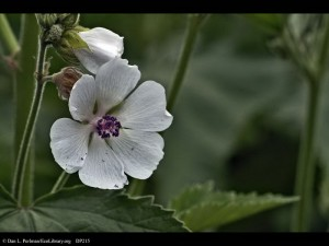 Marsh_Mallow_Althaea_officinalis_closeup_DP215