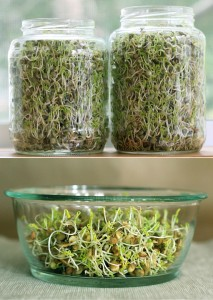 lentil-sprouts-process-3