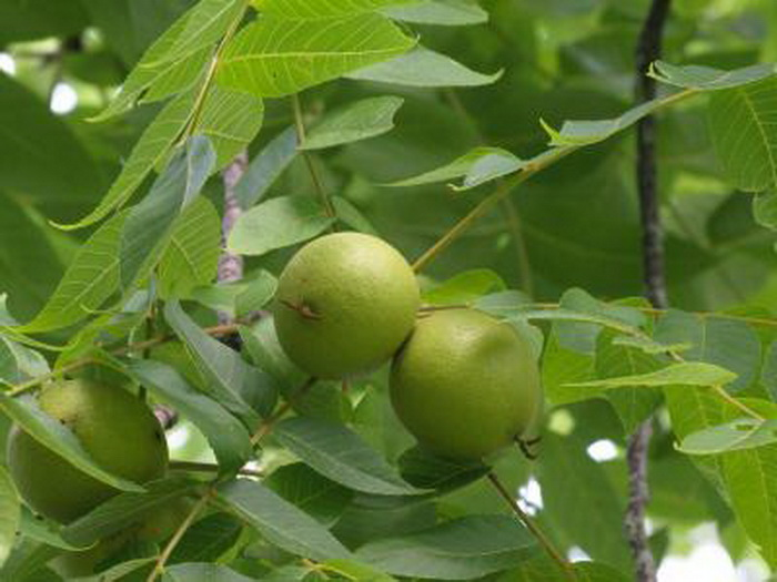 list-wild-walnut-leaves-orev-02