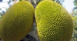 Ова овошје е вистинско чудо кое може да спаси од глад милиони луѓе – Има неверојатни лековити својства