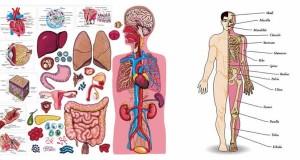Седум органи без кои може да живееме