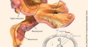 Откриен нов човечки орган